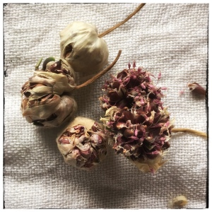 Kuivuneita valkosipulin kukintoja